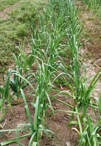 A field of leeks at Community Farm--where it all began!